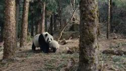 ���� ����� / Trail of the Panda / Xiongmao hui jia lu (2009) DVDRip