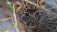 National Geographic: Королева леопардов / National Geographic: Leopard Queen (2011) Отличное качество